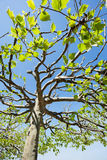 Treetop of a plane tree Stock Image