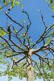 Treetop of a plane tree Stock Photos
