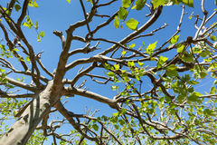 Treetop of a plane tree Stock Photography
