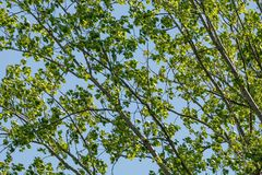 Texture of green branches of poplar with sky in the background. Treetop of a poplar with many green leaves in front of blue sky stock photo