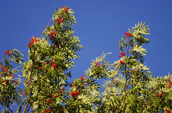 Treetop of a rowan tree with ripe red rowan berries, taken as a panorama image against a blue sky Royalty Free Stock Photos