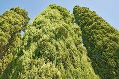 Treetop of three evergreen trees cypress closeup Royalty Free Stock Photos