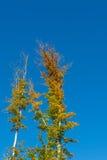 Treetop två och blå himmel royaltyfria foton