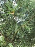 Treetop van de pijnboom (lucht) 2778 Royalty-vrije Stock Fotografie