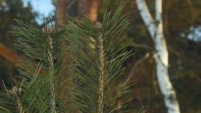Treetop van de pijnboom (lucht) 2778 close-up De boom van de pijnboom De jonge tak van de pijnboomnaald en oude pijnboomboom stock videobeelden