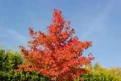 Treetop of young sweetgum with autumn leaves and fruits