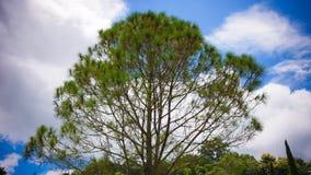 Treetops που πλαισιώνουν τον ηλιόλουστο μπλε ουρανό Στοκ Εικόνες