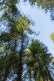 Treetops το διπλάσιο εξέθεσε τη μαλακή άκρη στοκ φωτογραφίες