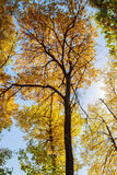 Treetops το χρυσό φθινόπωρο Στοκ φωτογραφία με δικαίωμα ελεύθερης χρήσης