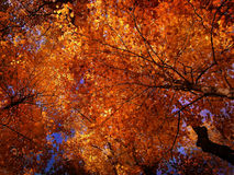 treetops φθινοπώρου Στοκ Φωτογραφία