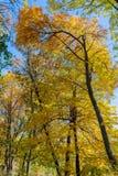 Treetops в золотой осени Стоковая Фотография RF