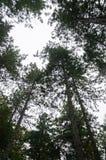 Treetops в темном лесе Стоковые Фото
