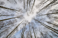 Treetops. Tree tops a winter day Stock Image