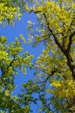 Treetops. Shiny green treetops and a blue sky Royalty Free Stock Photography