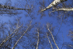 Treetops against blue sky, from below view. Russia. Russia. Treetops against blue sky, from below view Stock Photo