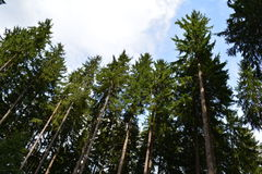 Treetops in August - conifers. Tall and straight top of trees in the forest Royalty Free Stock Photos
