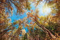 Treetops in the autumn forest Royalty Free Stock Image