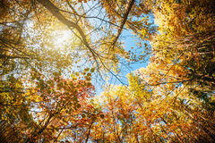 Treetops in the autumn forest Stock Image