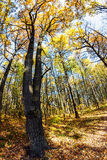 Treetops in the autumn forest Stock Images
