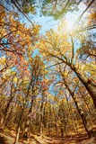 Treetops in the autumn forest Stock Photography