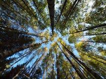 Treetops in de vroege herfst royalty-vrije stock afbeeldingen