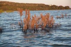 Treetops, die aus dem See heraus hervorstehen Stockbild