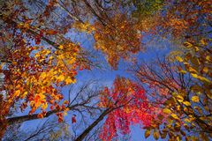 Treetops in fall forest Royalty Free Stock Photos