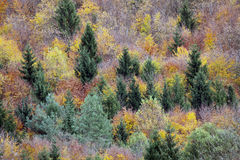 Treetops in a forest in autumn Stock Images