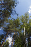 Treetops in the forest Royalty Free Stock Image