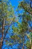 Treetops framing the sunny blue sky. Spring, forest.  Royalty Free Stock Photos