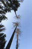 Treetops from the ground Stock Photography