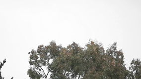 Treetops on a gusty day. High winds blow through trees against an overcast sky stock video
