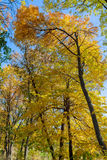Treetops i den guld- hösten Royaltyfri Fotografi