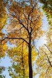 Treetops i den guld- hösten Royaltyfri Foto