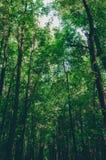 Treetops im grünen Morgenwald Stockbilder