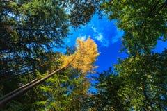 Treetops im Herbstwald mit blauem Himmel Stockfotografie