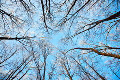 Treetops In The Winter Sunny Forest Royalty Free Stock Photo