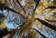 Treetops of maple trees in Autumn Royalty Free Stock Photo