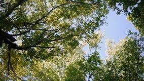 Treetops niebo Widok pogodny wysoki treetops obracanie na miejscu w lasowym zwolnionym tempie używać zbiory wideo