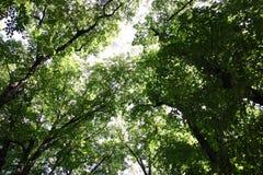 Treetops och himlen i bakgrunden Arkivfoton