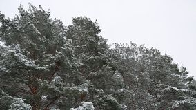 The treetops of pine forest christmas tree nature snow winter forest beautiful landscape. The treetops pine forest christmas tree nature snow winter forest stock video footage