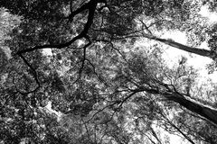 Treetops in Schwarzweiss Stockfoto