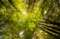 Treetops seen from below with green leaves Royalty Free Stock Photo