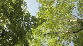 Treetops seen from below in spring. Dolly shot stock video footage