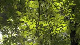 Treetops seen from below in spring. stock video footage