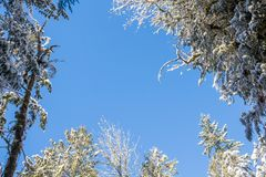 Blue sky through the snowy tree branches. Treetops and snowy branches, evergreen firs and between all of them clean blue sky without a single cloud Royalty Free Stock Photos