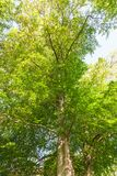 Treetops in spring forest Royalty Free Stock Image