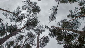 Treetops in the spring forest timelapse stock footage