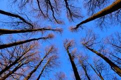 Treetops towards blue sky. Upwards towards treetops and a blue sky stock photo