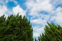 Treetops of two trees. Under the cloudy, blue sky royalty free stock images